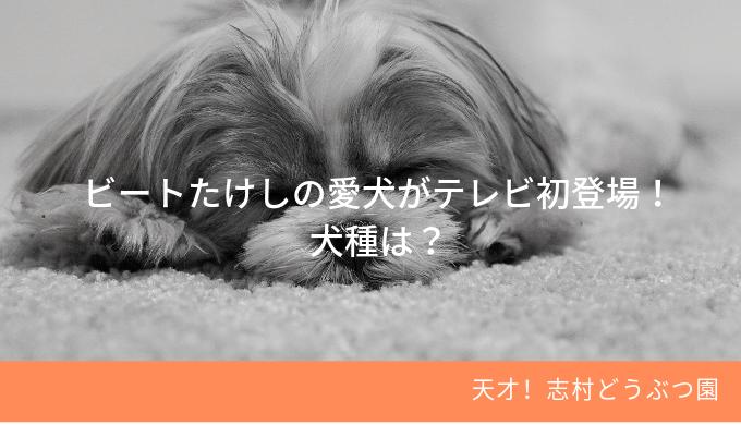ビートたけしの愛犬!【天才!志村どうぶつ園】テレビ初登場・その犬種は?