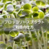 ブロッコリースプラウト栽培の仕方