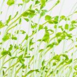 【あさイチ】豆苗の栄養効果は?|自宅での栽培方法とレシピも!